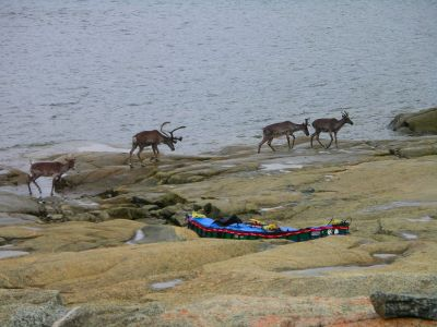 Caribou at Leaf River Estuary Lodge