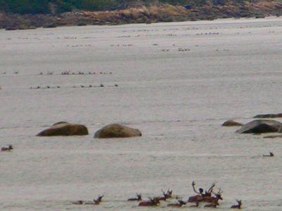 Caribou at Leaf River Estuary Lodge