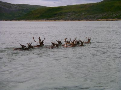 Caribou in Leaf Bay