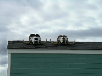 Muskox sculls on the roof